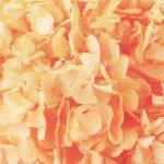 ソフトあじさい美咲フレッシュオレンジ