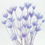 【ドライ】東北花材/ニゲラオリエンタリス ミディ 約20g入り パープリッシュブルー