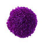ポンポン菊 ラズベリー