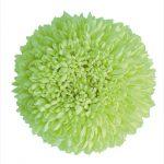 ポンポン菊 グリーン