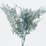 ミモザアカシア ウオッシュホワイト