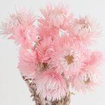 シルバーデージーミニ ピンク