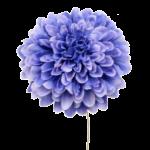 ボールマムピック  (4本/束)ブルー